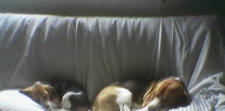 Mis beagles Garret y Gala