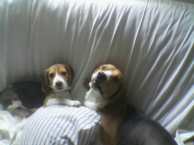 Gala y Garret los beagles de Adfer Dazne