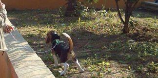 cachorro-begale-haciendo-pipi
