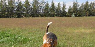 perro-beagle-suelto