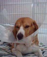 Garret - beagle enfermo con collar isabelino