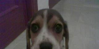 cachorrita-beagle-Gala enferma