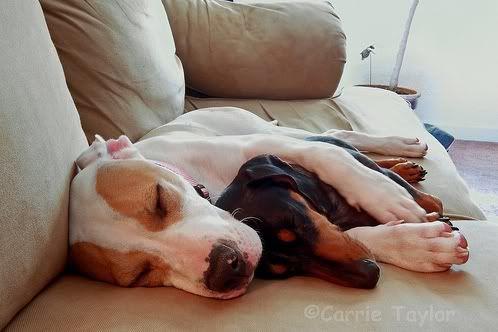 perros dormidos en el sofa