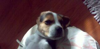 beagle-bob-ecuador-panza-arriba