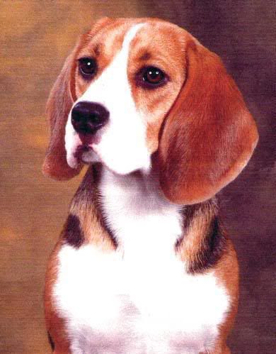 campeona-beagle-ada