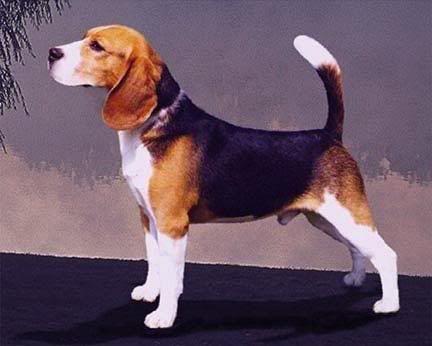 macho perro raza beagle