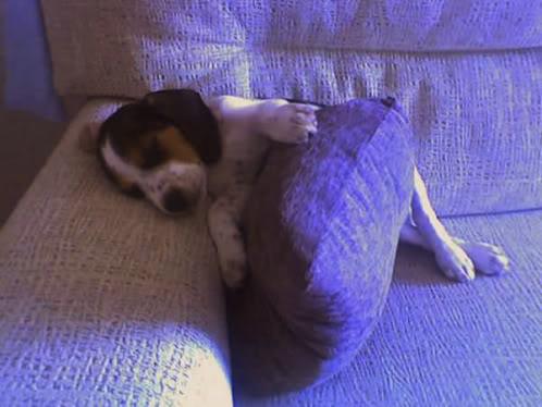 beagle-Lucho-Salamanca