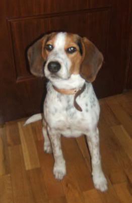 curioso beagle con manchas