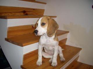 cachorra_beagle