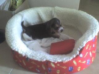 canasto_cachorro_beagle
