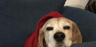 beagle Milka tranquila en el sofa