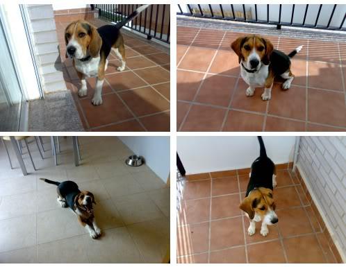 beagle_Goku