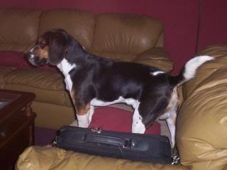 beagle_sofa