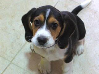 cachorro_beagle