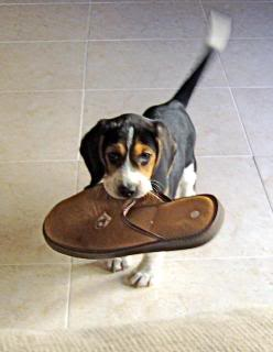cachorro_beagle_zapatilla