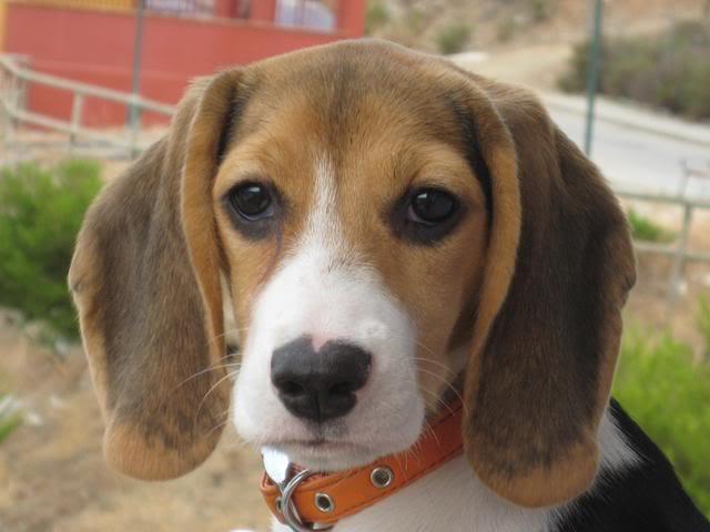 Collar de cuero para perros beagle como el de lula for Collares para perros