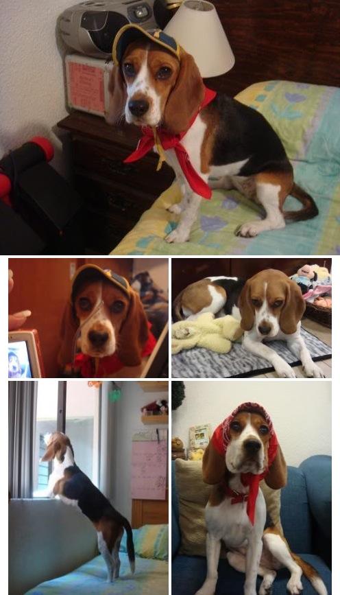 beagle Milka con 1 año y 6 meses