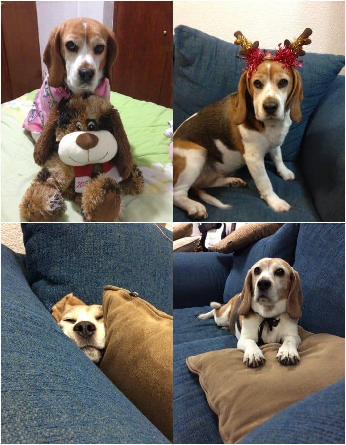 perrita beagle MIlka con 8 años