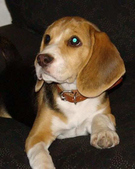 Beagle_Matilda