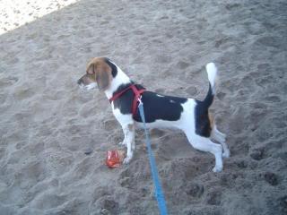 beagle en la playa