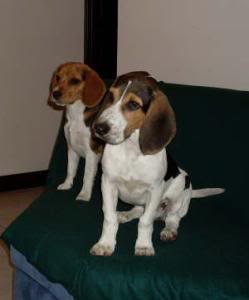 beagles_Missy_y_Bruno