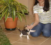 cachorro-beagle-30dias