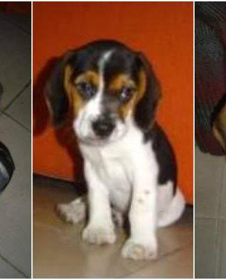 Saphira, cachorro beagle hembra