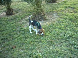 perro-beagle-suelto-parque-Garret