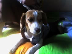 Beagle_Ashly_cama