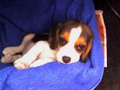 cachorro_beagle_Ashly