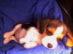 cachorro_beagle_Ashly2