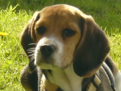 cachorro_beagle_blas