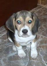 cachorro_beagle_hembra