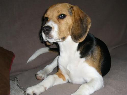 perro_beagle_blas_5meses