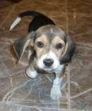 perrita beagle (pinchar para ampliar)