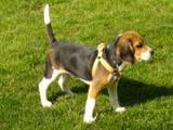 perro beagle de 4 meses