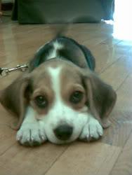 Perrita Beagle Nala