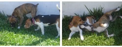 Beagle_Vilma_boxer_Uma