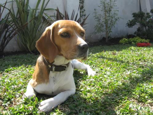 Beagle_Vilma_jardin