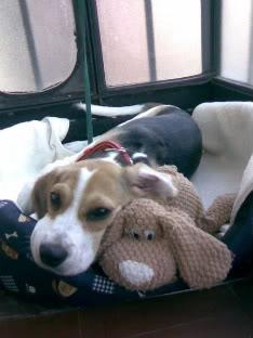 perrita beagle y muñeco