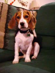 Perrita_beagle_sentada_sofa