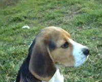 beagle Garret con 6 meses