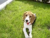 beagle_echado_jardin