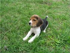 beagle en la hierba