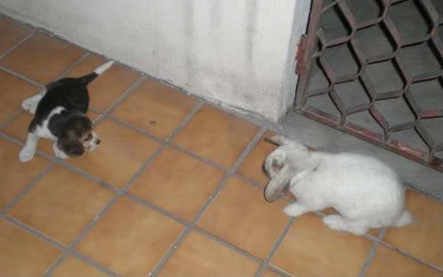 beagle jugando con conejo