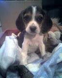 cachorrita_beagle_sentada