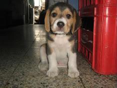 cachorrito_beagle_sentado