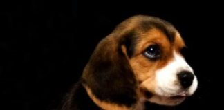 cachorro de beagle, Cheo