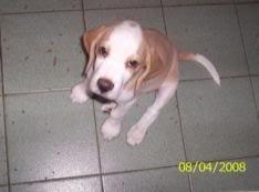 cachorro-beagle-bicolor
