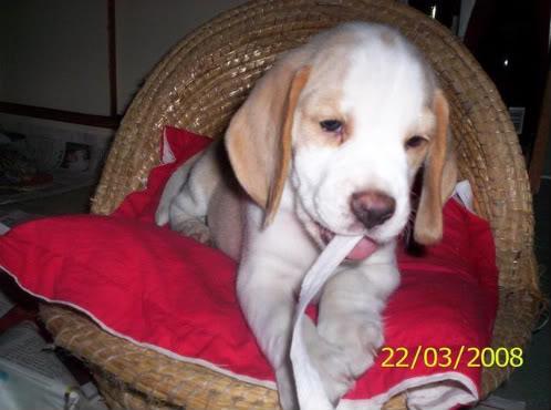 beagle Lorenzo